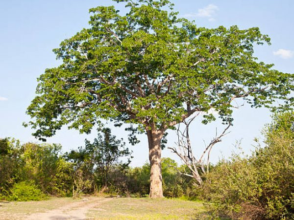 Big mahoganhy tree in Selous National ReserveSee also my LB: